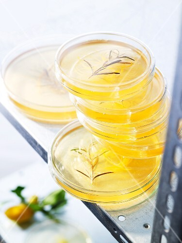 Lemon and rosemary jelly with gin