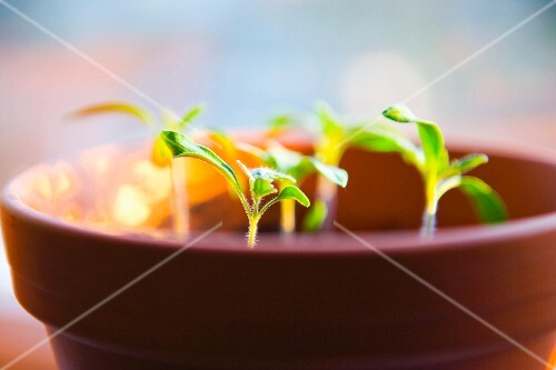 Tomato plants in a pot.