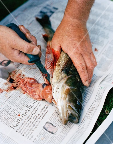 Fish being cleaned, Sweden.
