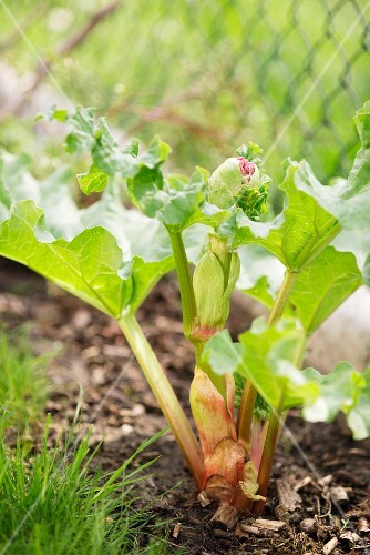 A rhubarb plant in the garden