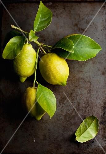 A twig with fresh lemons