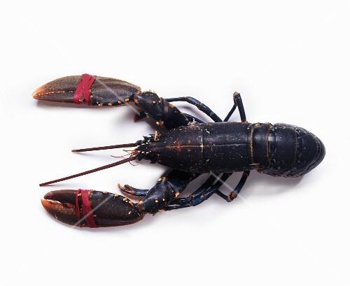 A fresh lobster