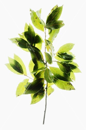 Sprig of bay leaves