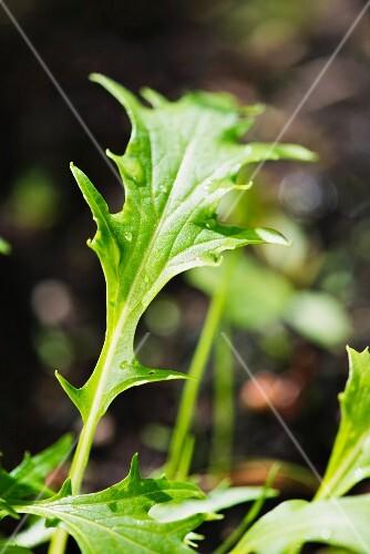 Mizuna (Brassica rapa nipposinica) growing in garden