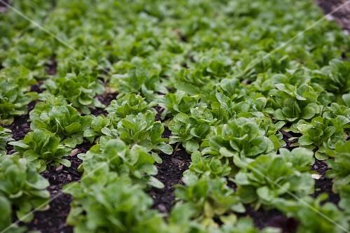 A field of lamb's lettuce plants