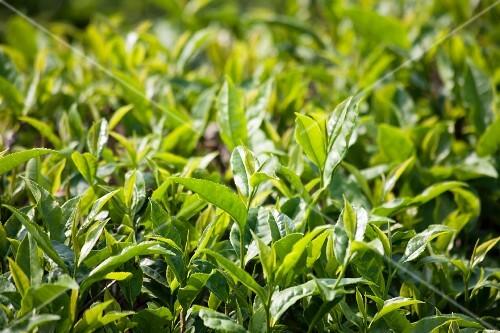 Tea plants in a field