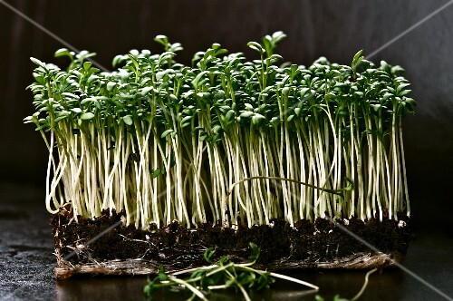 Fresh organic cress with roots and soil