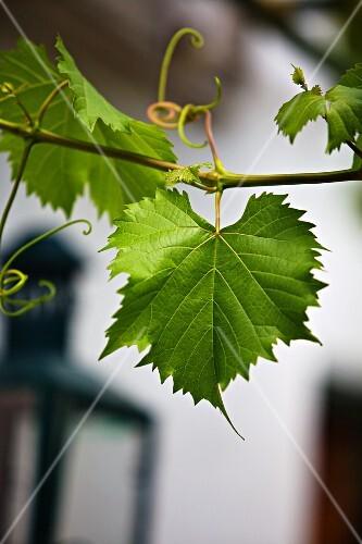Vine foliage outside a wine bar