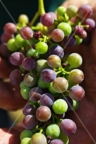 A harvest of unripe Zweigelt grapes for making verjus