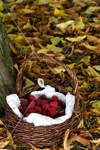 A basket of freshly picked raspberries in an autumn garden