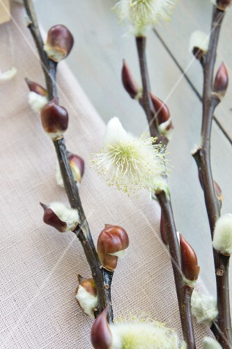 Willow catkins (close-up)
