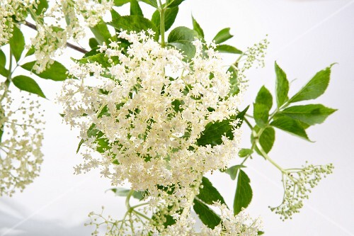 Elderflowers against a white background