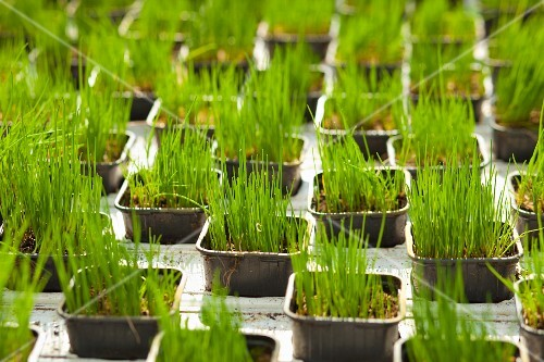 Young chives in black plastic pots