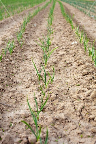 A field of young onion shoots