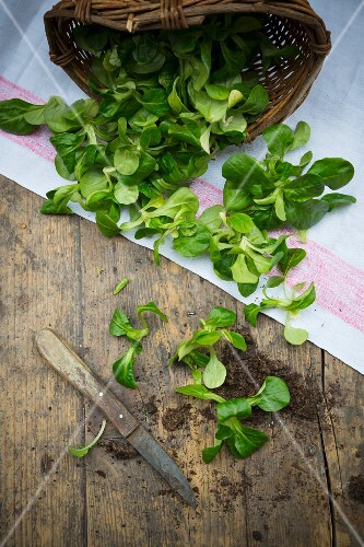 Lamb's lettuce with a basket, soil and knife on a wooden table
