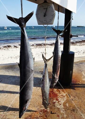Fresh caught barracudas on a scale on the beach