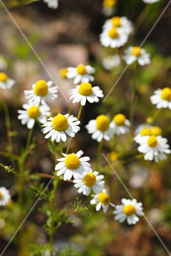 Camomile flowers in a field