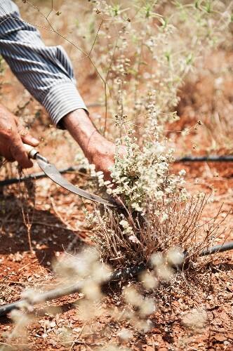 A man harvesting wild thyme