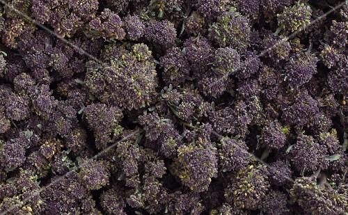 Purple broccoli (filling the image)