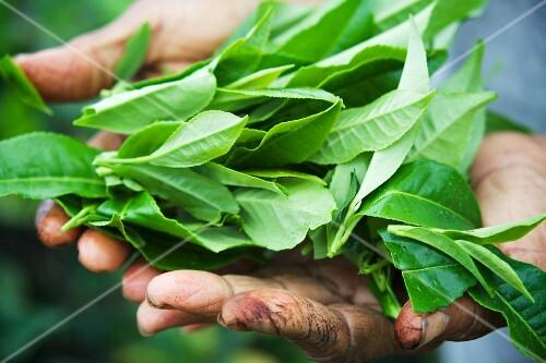 Fresh tea leaves in the hands of a tea picker (Sri Lanka)