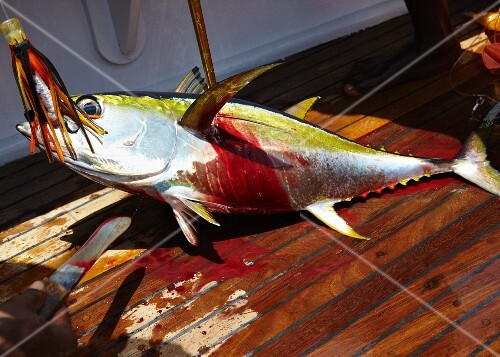 A freshly caught yellowfin tuna on a boat