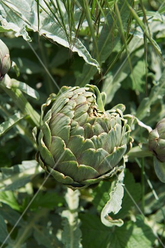 Artichoke on the Plant