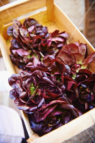 Salanova lettuces in a crate