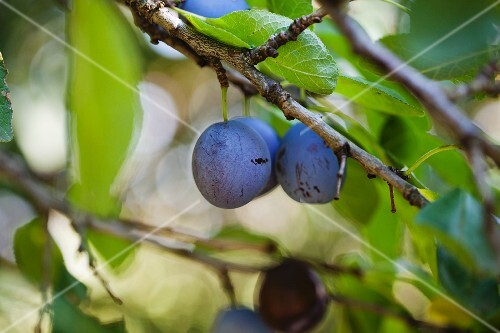 Plums on the tree (close-up)