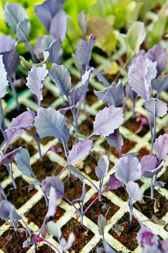 Kohlrabi plants in a seed tray