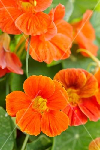 Orange nasturtium