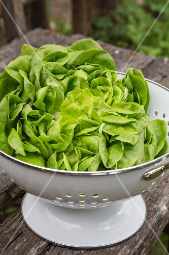 Fresh lettuce in a colander