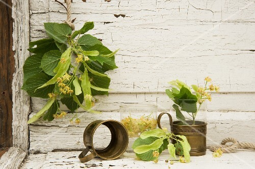 Fresh lime leaves against a weathered wooden wall