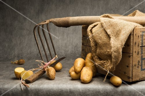 Potatoes with a rake, hessian sack and a wooden box