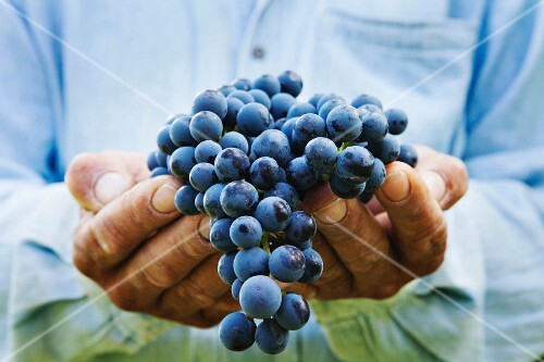 A man holding freshly harvested grapes