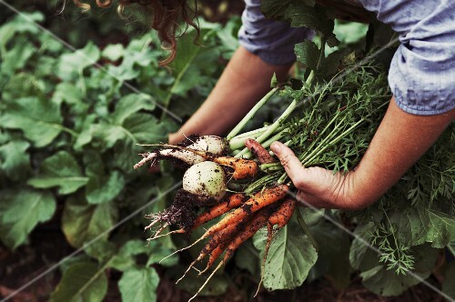Woman Gathering Fresh Carrots and Beets from Garden