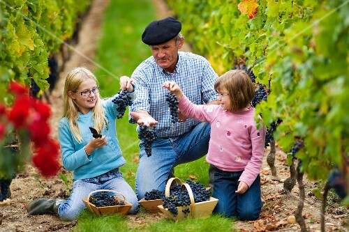 Michel Mesnard with his family picking grapes in vineyard of Château de Chantegrive, Podensac, Gironde, France. [Graves / Bordeaux]