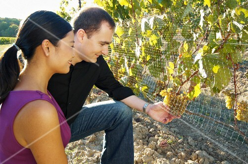 Couple looking at ripe grape bunches in a vineyard.