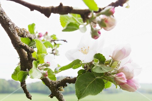 Apple blossom (close-up)