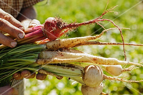 Cropped image of farmers hands holding root vegetables