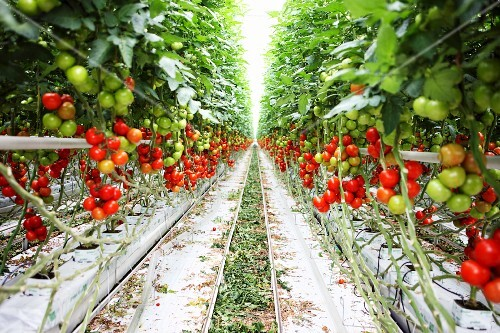 A view down an aisle in a tomato plantation