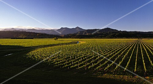 Oyster Bay vineyards in the Wairau Valley with the Richmond Ranges beyond, Marlborough, New Zealand