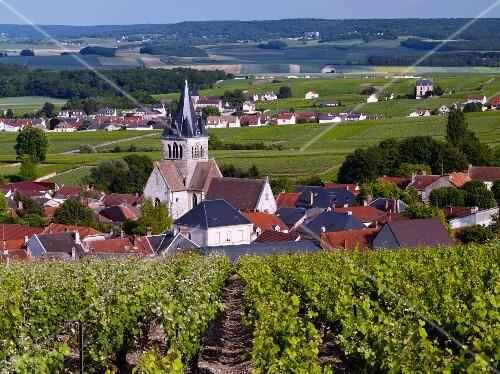 Pinot Meunier (left) and Chardonnay vines in vineyard above Ville-Dommange, Marne, France, Champagne