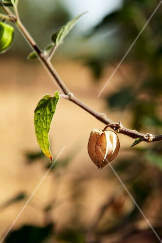 A ripe physalis on a plant