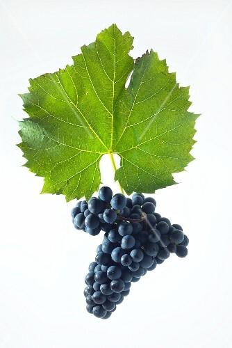 Maréchal foch grapes with a vine leaf