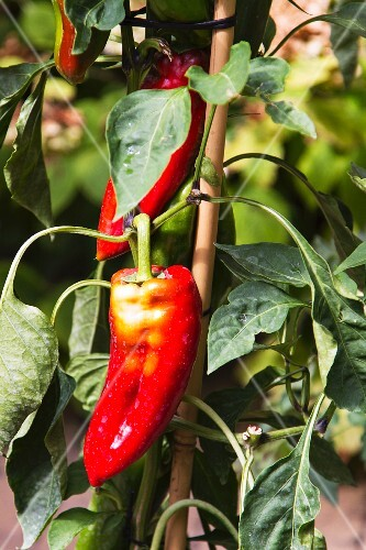 A red pointed pepper on the plant
