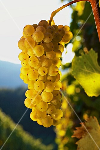 Traminer grapes (Steiermark, Austria)