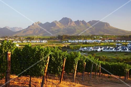 Vineyard and golf course of Kleine Zalze with the Helderberg mountain beyond. Stellenbosch, Western Cape, South Africa.