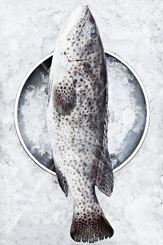 A grouper on ice