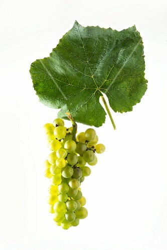 Pinot blanc grapes with a vine leaf