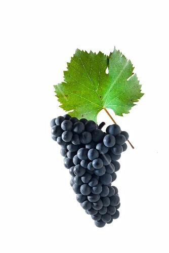 Dakapo grapes with a vine leaf, new German breed